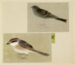 WALTERS: Japanese: Leaf from Album Depicting Small Birds None